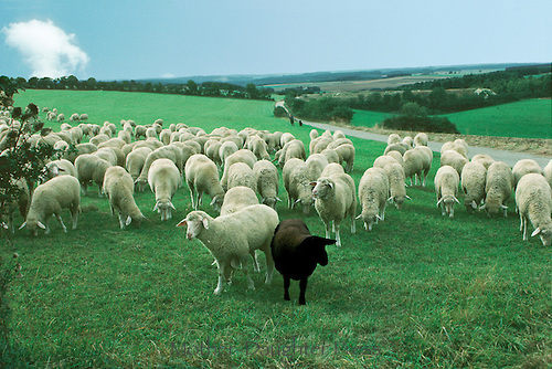 W0376-one-black-sheep-of-the-herd