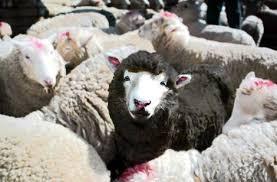 ofarbana ovca